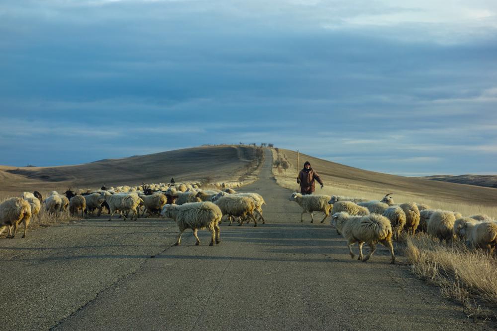 Un pastore pascola le sue pecore sulla strada per Davit Gareia