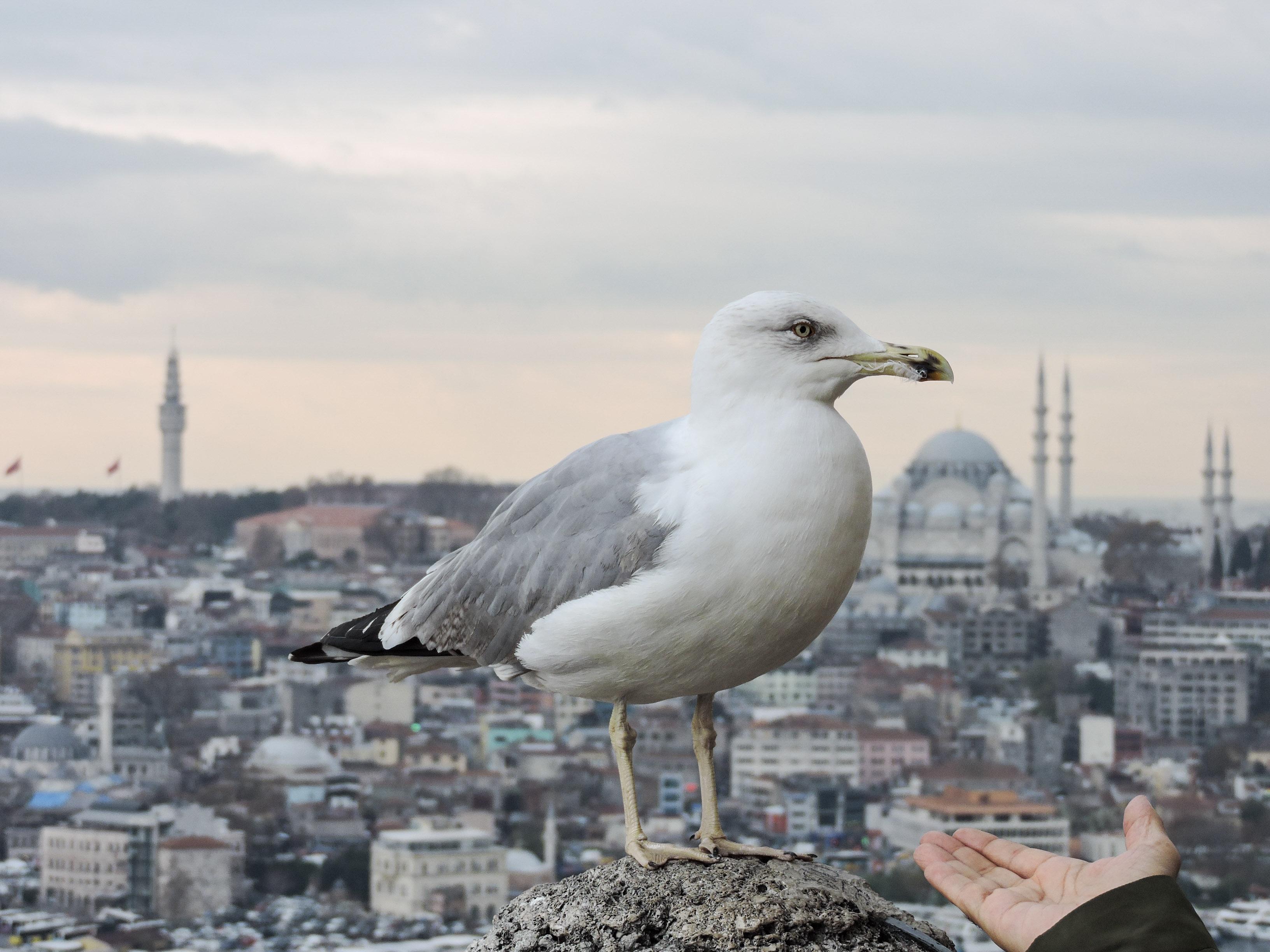 Gabbiano appollaiato sulla torre di Galata, con Suleymaniye all'orizzonte
