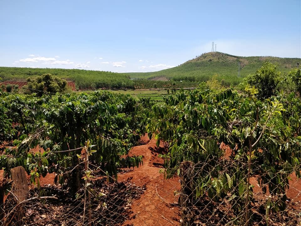 Piantagioni di caffè nelle zone Janar a kon tum
