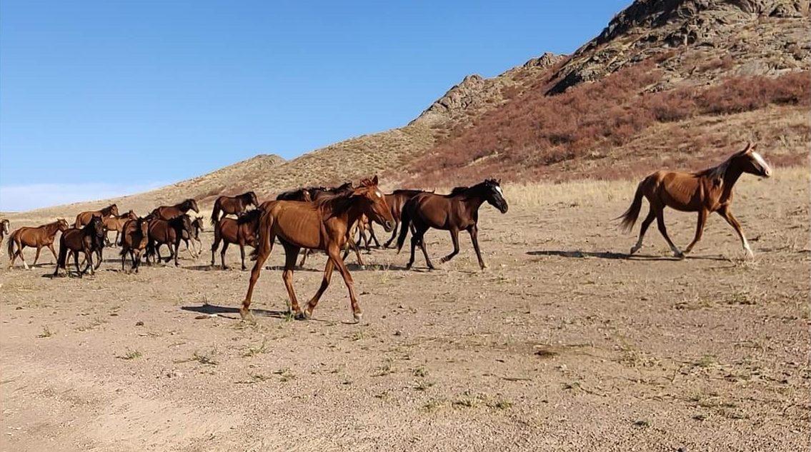 cavalli corrono per le steppe aride di Tamgaly Tas vicino Almaty