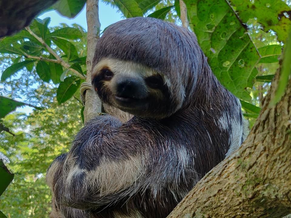 un bradipo della foresta amazzonica in un centro rifugio per animali sequestrati al mercato nero di Belen a Iquitos